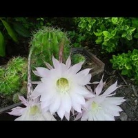 Kaktus Echinopsis,niezwykłe kwiaty