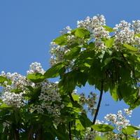 katalpa, drzewo