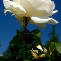 Kwiat dla dzisiejszych solenizantek