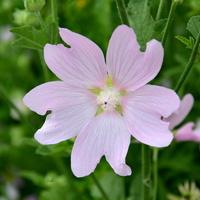 kwiat polny z bliska
