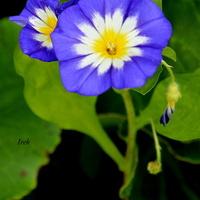 kwiatek trójkolorowy