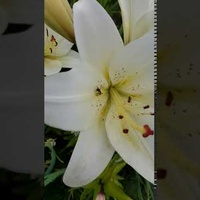 Lilia biała....