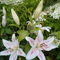 Lilia na tle hortensji