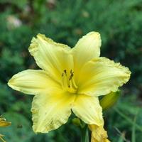 liliowiec w cytrynowym kolorze