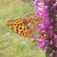 Motylek dla Uli :)