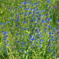 niebieska łąka (fragment)