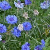 niebieskie kwiatki zaczynają przekwitać
