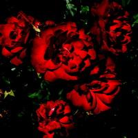 nocne życie róż.