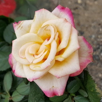 Nowa róża....