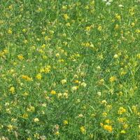 żółta łąka