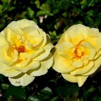 żółte siostrzyczki