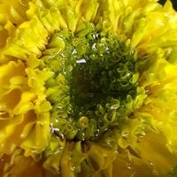Żółty aksamit.....