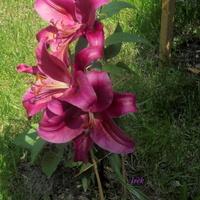 piękna lilia w plenerze