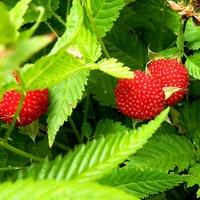 Pierwsze owoce malinotruskawki:)