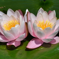 przytulone lilie wodne