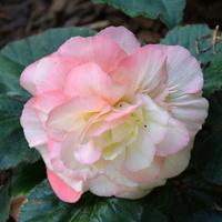 róża dwubarwna