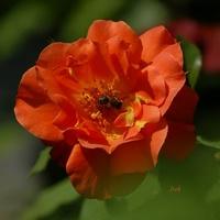 róża i jej wielbiciel