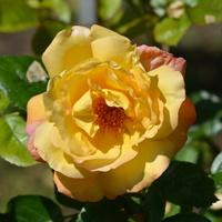 róża żółta