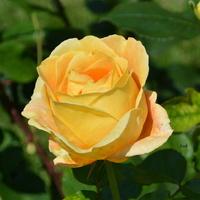 róża wytrzymała dzisiejszy upał.