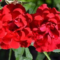 róże czerwone