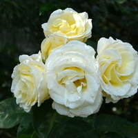 róże kremowe