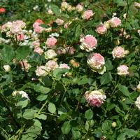 róże na wolności