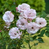 róże prawie białe