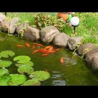 Ryby w oczku wodnym