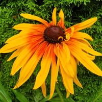 Słoneczna rudbekia