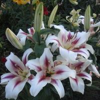 Sezon liliowy w pełni...