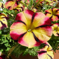 Surfinie -kwiaty na balkony i tarasy