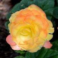 urocza róża