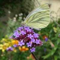 W ogrodzie ruch motylkowy trwa