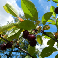 Wiśnie, owoce lata