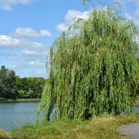 wierzba płacząca w parku