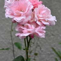 wysokie róże