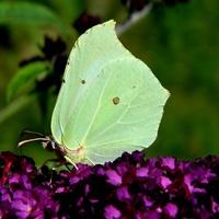 Zakwitła budleja i jest motylek:)