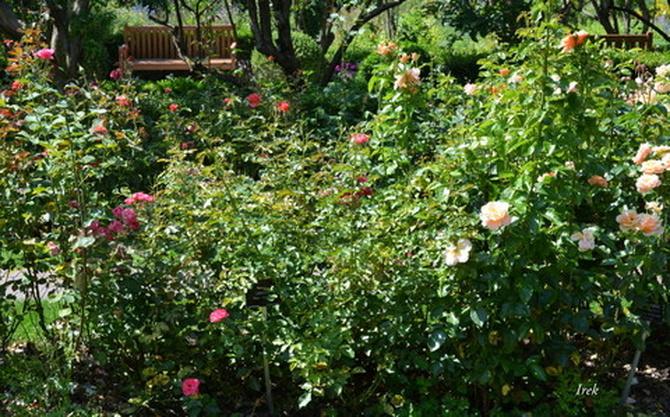 ławka wśród róż