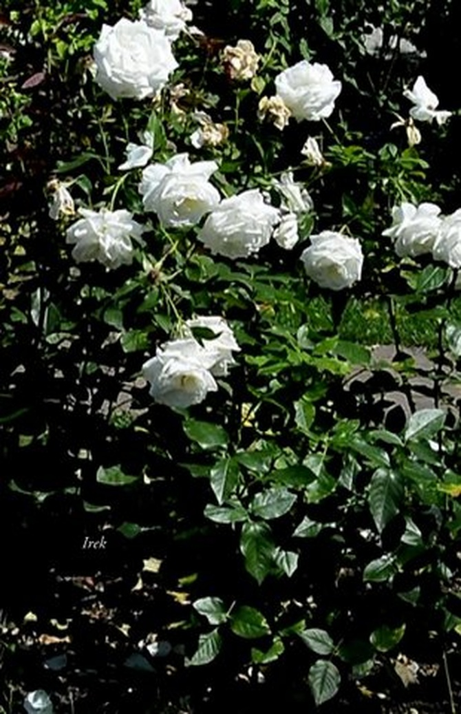 Białe róże wysokie w ogrodzie botanicznym.