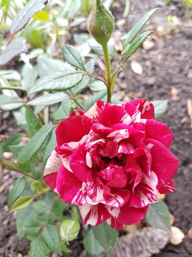 Biało-czerwona róża