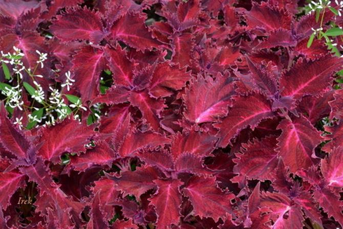 buraczkowe liście