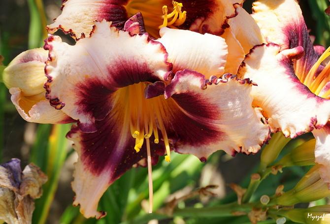 forma i kolor liliowca zachwycają :)