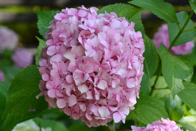 hortensja różowa