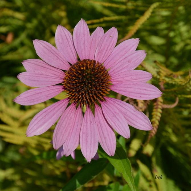 jeżówka różowa
