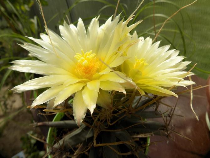 Najlepiej mają się kaktusy :)