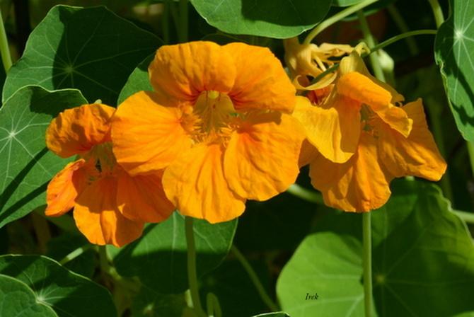 nasturcja pomarańczowa
