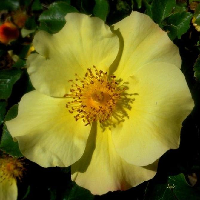 żółta róża