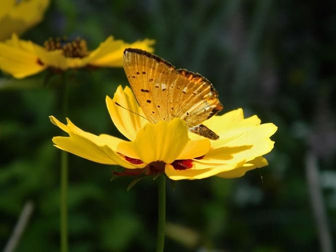 Żółty ze złotym;)
