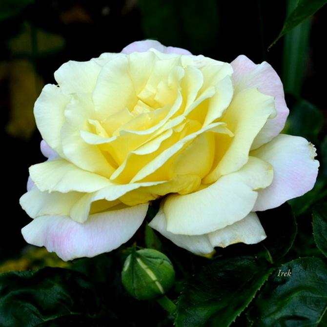róża dwukolorowa