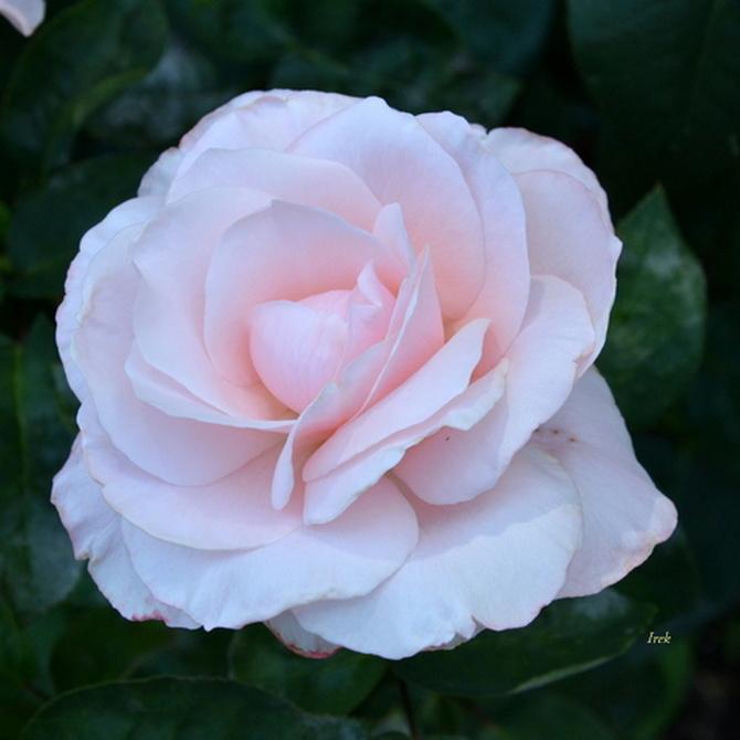 róża na dobranoc i miłe sny.
